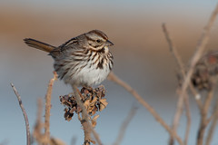 Song Sparrow (Jesse_in_CT) Tags: songsparrow sparrow nikon200500mm