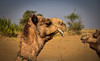 Camel at The Thar Desert, Rajasthan. India (Betty C.H.) Tags: camelsafari camels holidays india jaisalmer jogganjaisalmercamp rajasthan samsanddunes thardesert travel vacation