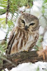 ''Doux regard!'' Petite nyctale- Nothern saw-whet owl (pascaleforest) Tags: oiseau bird animal passion nikon nature owl hibou faune connifère wild wildlife québec canada wood arbre