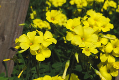 Yellow (Javiera C) Tags: santiago chile rural countryside campo flora flor flower vegetación plant planta vegetation vegetal amarillo yellow