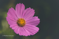 Spring Beauty (Thelma Gatuzzo) Tags: bokeh spring fiore pink flora outdoor blossom flower thelmagatuzzo© flores flor bloom cosmos fleur 2017