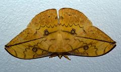 Pselaphelia flavivitta (zimbart) Tags: africa mozambique gorongosanationalpark chitengo fauna arthropoda insects specinsect lepidoptera heterocera moths saturniidae pselaphelia pselapheliaflavivitta