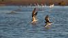Buddy System (Kiskadee Photography) Tags: black skimmer skimmers bird birds birding birder water beach shore seagull feeding flock sand sandbar sun gulf coast