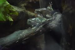 Frogs (or prices?) - Dubai Aquarium (Simo AKA) Tags: honeymoon luna di miele dubai emirati arabi emirates arab aquarium acquario rana rane frog frogs principe prince forest foresta