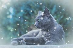 Einen schönen dritten Advent euch allen! (explored) (Jana`s pics) Tags: cats grey katze winter snow schnee filter advent christmas weihnachten 35mm eos750d greycat greeneyes grauekatze grüneaugen