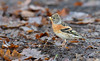 Brambling (2 of 2) (KHR Images) Tags: brambling fringillamontifringilla wild bird winter migrant finch sandy rspb bedfordshire nature wildlife nikon d500 kevinrobson khrimages