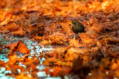 Blackbird (Sergio '75) Tags: bird uccello merlo blackbird leaves autumn autunno water colors colorful canon canoneos70d sigma150600mmf563dgoshsmc nature natura natur naturaleza naturallight natural naturephotograph naturephotography wildlife light