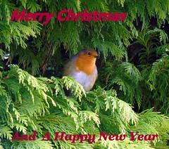 Merry Christmas (stuartcroy) Tags: orkney scotland robin christmas