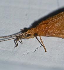 moth mimic Caddis fly Hydropsychidae Trichoptera Airlie Beach rainforest P1110113 (Steve & Alison1) Tags: moth mimic caddis fly trichoptera airlie beach rainforest hydropsychidae