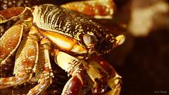 cangrejo - crab (vitofonte) Tags: cangrejo crab mar sea oceano ocean oceanoindico kizimkazi tanzania africa naturaleza nature natura natureza vitofonte zanzibar
