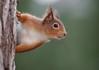 Red squirrel (Mike Mckenzie8) Tags: sciurus vulgaris british scotland wild wildlife mammal pine forest winter canon outdoor tree bark
