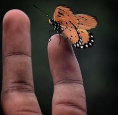 Be kind to everything that lives (abhishekskumar) Tags: nature naturelover naturelovers india butterfly love insect explore lovelyshooftheday macro macroshot macrophotography macrolife finger flickrdaily flickraddicts flickruniverse planetearth motherearth mothernature intothewild harmony