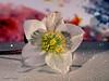 Eine Christrose für Euch !<3 (magritknapp) Tags: christrose bokeh glitzergummi glitter rubber caoutchouc brillant goma rosa de natal hintergrundhttpswwwflickrcomphotos143593485n0723665629448