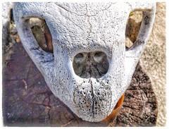 Sea Turtle Skull (plismo) Tags: cayolargodelsurairport isladelajuventud cuba cayolargo fujifilmfinepixs8600 fujifilm finepix s8600 seaturtleskull skull seaturtle turtle animal macro cayolargomarina cayolargodelsur plismo
