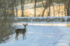 Deer (david.horst.7) Tags: snow nature wildlife deer outdoors winter