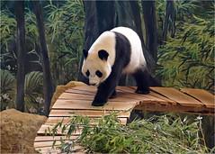 Wu Wen on adventure (Foto Martien) Tags: pandabear giantpanda panda reuzenpada pandabeer bamboebeer greatpanda whitebear particoloredbear bamboobear pandabär groserpanda riesenpanda pandagéant osopanda pandagigante pandamaggiore devpanda большаяпанда pandawielka pandagergasi 大熊猫 熊貓 貓熊 又叫大熊貓 ailuropodamelanoleuca bear southcentralchina mountains sichuan shaanxi gansu black white zwart wit bamboo bamboe dierenpark dierentuin zoo ouwehandszoo ouwehandsdierenpark rhenen netherlands nederland holland dutch utrecht geotaggedwithgps geotag geotagging pandasia sonyilca77m2 sonyalpha77 70300 tamron70300mmf456sp martienuiterweerd fotomartien