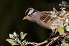 White-crowned Sparrow (gilamonster8) Tags: yellow quality az arizona american wing sky stick eyes explore eos explored eat ef400mm56l eyeball eating desert color canon common red flight flickrelite fly view tucson tail talons tree twig green gray great garden bird bokeh beyondbokeh beak bill black brown branch ngc male leaves orange park plant 7dmarkii