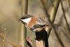 DSC_1013.jpg Chestnut-backed Chickadee, Twin Lakes (ldjaffe) Tags: twinlakes