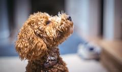 Rudi (Simon[L]) Tags: dog poodle profile canon50mmf12ltm