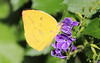 Grass Yellow Butterfly 007 (DMT@YLOR) Tags: yellow geishagirl leaf leaves plant shrub tree grassyellowbutterfly