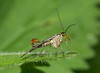 18 scorpionfly - Best2017 (Neil Phillips) Tags: 11bwpa17 essex greenbackground insecta mecoptera panorpa antennae arthropod arthropoda basking beak blue brown bug eyes face fangs flapping foot fullbody green grey hairy head hexapod insect invertebrate leaf leaves legs look looking mouth nose onleaf orange perched red scorpionfly standing stretchingout stripes teeth underside vegetation walking white wholeanimal yellow