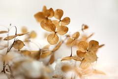 Winter Hydrangea (lfeng1014) Tags: winterhydrangea winter hydrangea snow macro macrophotography canon5dmarkiii ef100mmf28lmacroisusm dryflower flower dof depthoffield closeup bokeh lifeng
