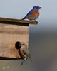"Western Bluebirds (dennis_plank_nature_photography) Tags: sialiamexicana westernbluebird bird wa washington aves avian birds littlerock nature prairie ""thurstoncounty"" ""avianphotography"" ""birdphotography"" ""naturephotography"" ""southsoundprairies"""