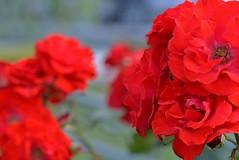 Rose 'Montana' raised in Germany (naruo0720) Tags: rose germanrose montana germanrosescollection バラ ドイツのバラ ドイツのバラコレクション モンタナ royaloccasin