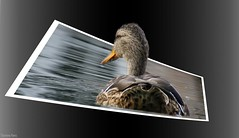 Out the Bounds - test2 (YᗩSᗰIᘉᗴ HᗴᘉS +11 000 000 thx❀) Tags: outthebounds outofframe horsducadre test creative canard duck hensyasmine yasminehens aaa nature 7dwf outstanding greatphotographers