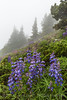 Broadleaf Lupine on Mount Townsend in Olympic National Forest (Lee Rentz) Tags: buckhornwilderness hoodcanal hoodcanalrangerdistrict july mounttownsend mttownsend olympicmountains olympicpeninsula olympics pacificnorthwest usforestservice washington washingtonstate alpine america blossom blue broadleaflupine climate clouds cloudy color condensatiocondensing droplets drops flora flower flowering fog foggy green hiking lupine lupinuslatifolius lush meadow mist misty mountainous mountains nature northamerica northwest olympicnationalforest outdoor outdoors overcast plant subalpine summer terrain theolympics trail usa weather wet wild wildflower wildflowers wilflowers