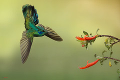 Green Violetear feeding in flight (Chris Jimenez - Take Me To The Wild) Tags: violetear birding hummers nature birds fly colibries thalassinus colibrie wild colibri workshops action costa green jimenez hummingbirds rica chris life