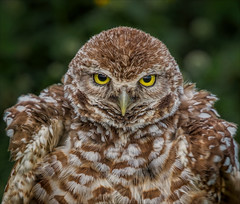 The Devil Wears Prada (Kathy Macpherson Baca) Tags: animal animals bird birds owl burrowingowl feathers world earth wildlife nest ave fly hunter raptor florida planet nature preserve