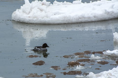 Common Goldeneye Amidst the Ice (hmthelords) Tags: lakeontario commongoldeneye ice snow frozen