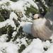 Mésangeai du Canada/ Gray jay (sparrow95) Tags: