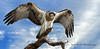 Eastern Osprey (Beth Wode Photography) Tags: easternosprey osprey feathers perch wingspan herveybay qld beth wode bethwode
