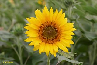 DSC_7268 ~ Sunflower in NC
