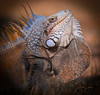 Orange Iguana (rickdunlap2) Tags: stcroix virginislands caribbean island travel lizard animal reptile wildlife