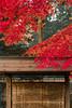 IMG_3715 (Matthew_Li) Tags: red leaf japan maple leaves