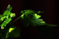 Parsley (Alfredo Liverani) Tags: 7dayswithflickr 7dwf flora canong5x canon g5x pointandshoot point shoot ps flickrdigital flickr digital camera cameras