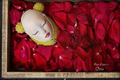 Beauty sleeps... (pure_embers) Tags: doll dolls uk england pure laura embers pureembers girl art shirrstoneshelter shirrstone shelter otto porcelain head photography sleep rose petals bedofroses