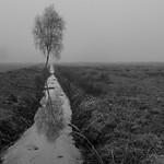 A birch in the fog thumbnail