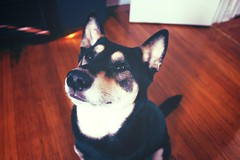 Man's Best Friend (criticaldrive) Tags: dog shiba inu photography puppy canon
