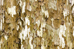 Abstract Sycamore Bark - 2016 (TAC.Photography) Tags: sycamore bark tree trunk pattern texture flaky flake abstract abstracts tacphotography tomclarknet httpwwwtomclarknet d7000