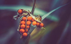 Red berries of Crocosmia Lucifer (Dhina A) Tags: sony a7rii ilce7rm2 a7r2 kaleinar mc 100mm f28 kaleinar100mmf28 5n m42 nikonf russian ussr soviet 6blades red berries crocosmia lucifer