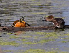 ya talkin ta me (ruthpphoto) Tags: hoodedmerganser turtle