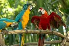 Macaws chatting in Cartagena (jdlasica) Tags: cartagena oldcartagena colombia cruise 2017 southamerica macaws colorful