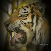 Angry (Through-my-eyes.) Tags: tiger tigers dartmoorzoo teeth stripes stripe zoo feline male mouth angry
