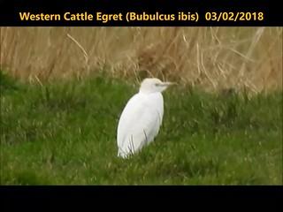 Western Cattle Egret (Bubulcus ibis)  03-02-2018