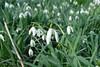perce neige (mchub) Tags: fleurs perce neige hiver hx400v