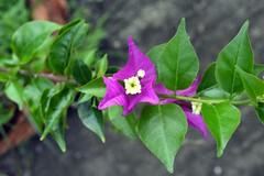 WOL Calauan Laguna Philippines Day 5 (74) (Beadmanhere) Tags: philippines flowers